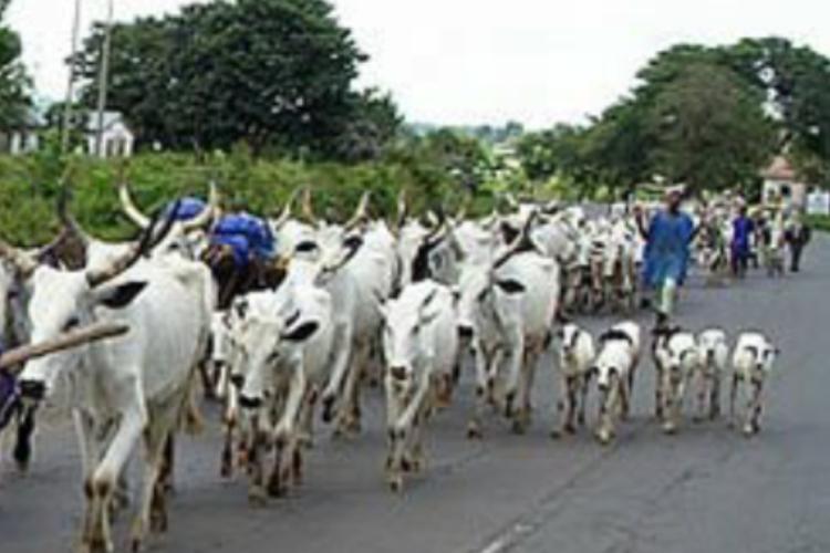 Herdsmen and their cattles