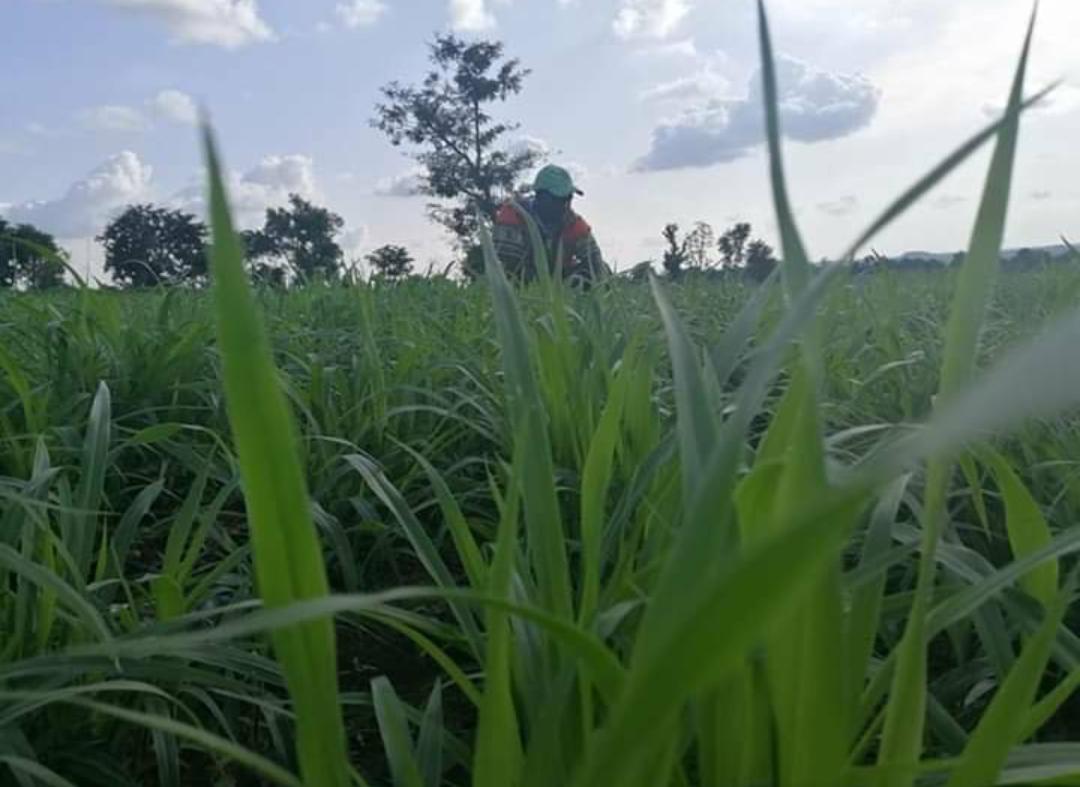 Ruzi Premium Drought-Resistant Grass