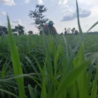 "Man plants ""10 hectares of Ruzi Premium Drought-Resistant Grass that can last 60 years"" for cow grazing"